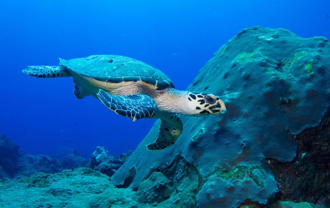 turtle hawksbill sea animals turtles ocean endangered marine oceana coral imbricata eretmochelys encyclopedia animal noaa habitat somali moore tom monogamous